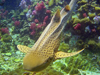 Leopard shark at Shark Point, Phuket
