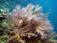 Knotted Gorgonian Fan Coral