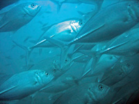 Schooling trevally at the King Cruiser wreck in Phuket