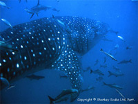 Whale shark at Anemone reef, Phuket
