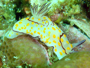 Chromodoris annulata at Koh Bon island