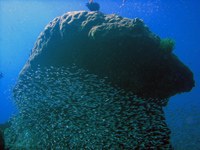 Large coral formationsurrounded by glass fish, Similan Islands